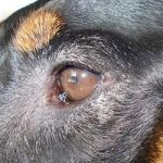 Dry Eye Treatment Natural Remedies for Dogs Using Herbs